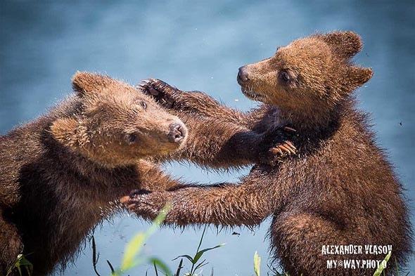 курильское озеро медвежата