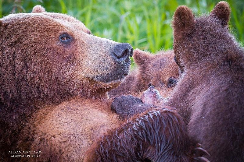 курильское озеро южно камчатский заказник медвежьи физиономии не отличаются выразительной мимикой