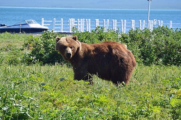 медведи идут не торопясь по пляжу