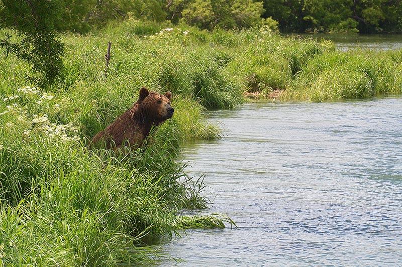 в пойме реки озерной расхаживает тьма непуганых медведей
