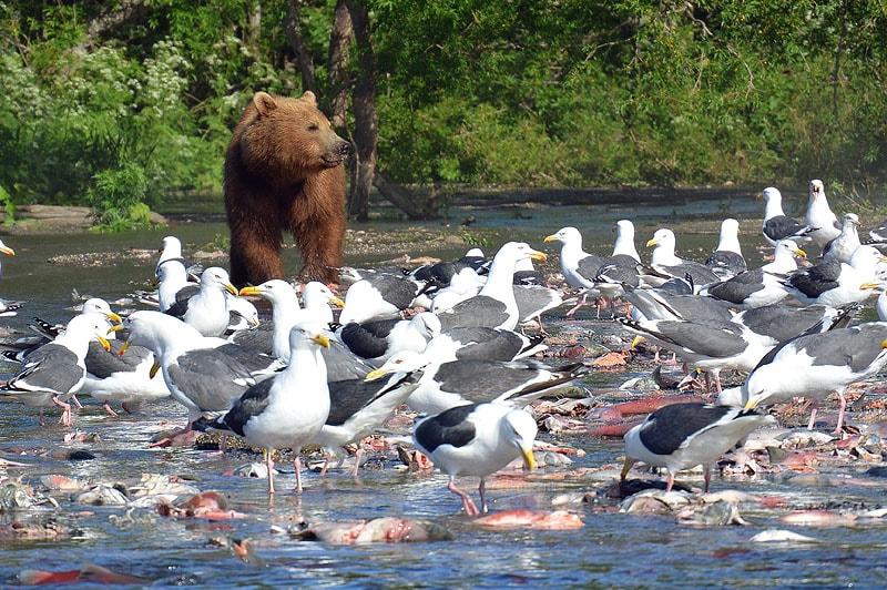 на курильском озере чайки и медведи основные потребители нерки