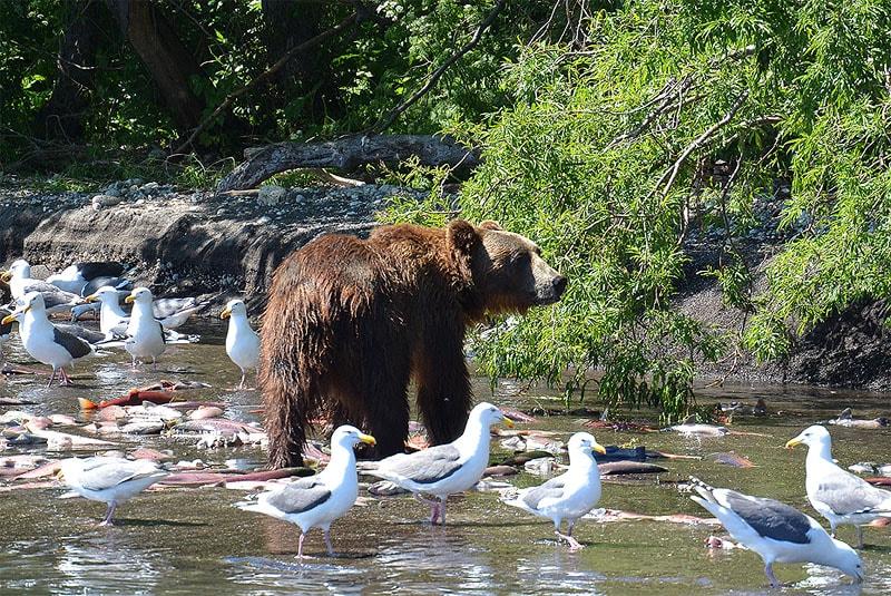 южно камчатский заказник тихоокеанские чайки и бурые медведи