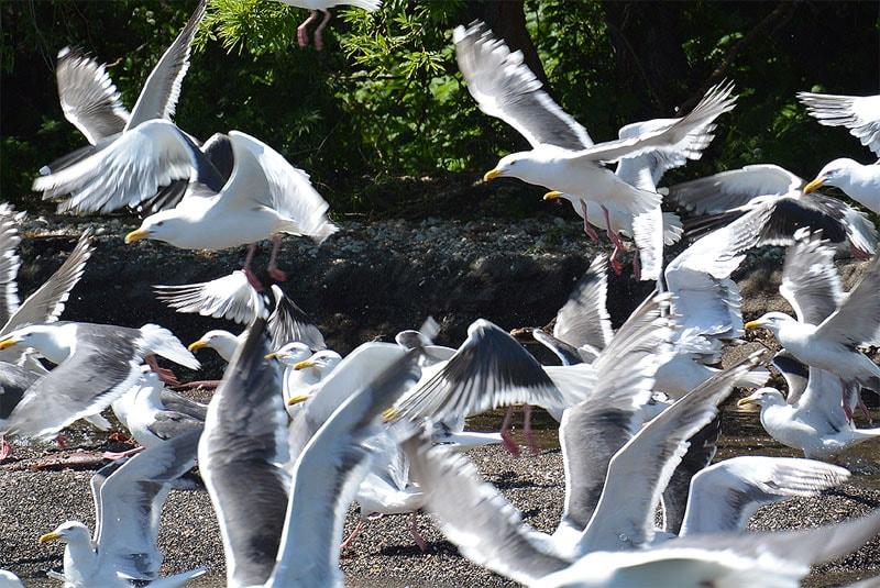 южно камчатский заказник тихоокеанские чайки на пресноводном  курильском озере