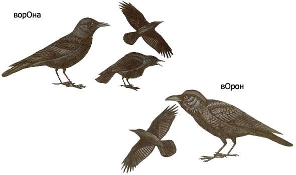 друг на друга сильно похожие ворона и ворон