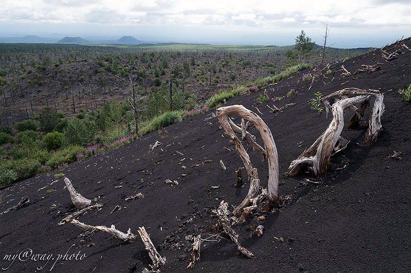 толбачик деревья мертвого леса