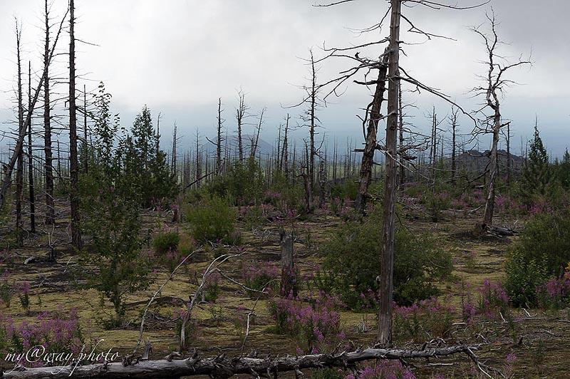 толбачинский дол мертвый лес был когда лиственничным лесом