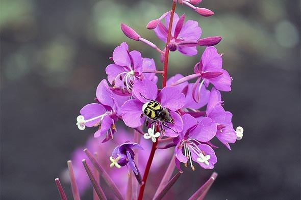 на пурпурно-розовую стрелку иван-чая уселось крылатое насекомое