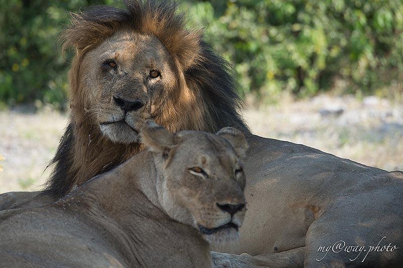 цари зверей символизируют благородство силу смелость а также удачу