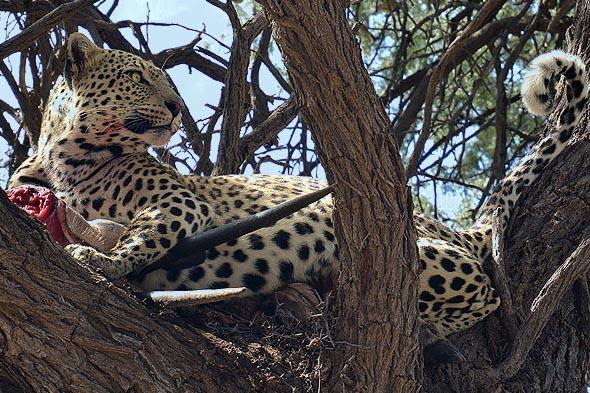 впечатляющий леопард