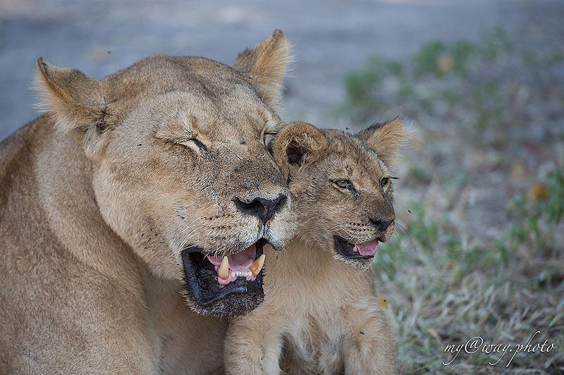 львенок такой славный и вроде безобидный малыш
