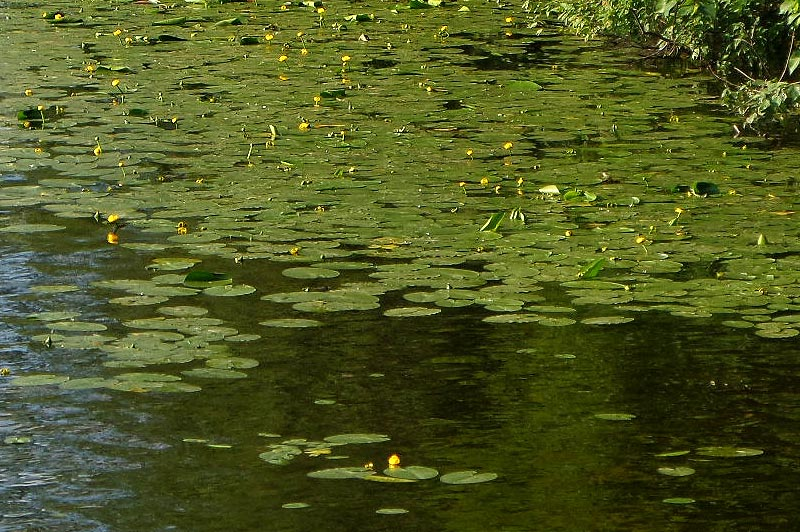 желтые огоньки кувшинок