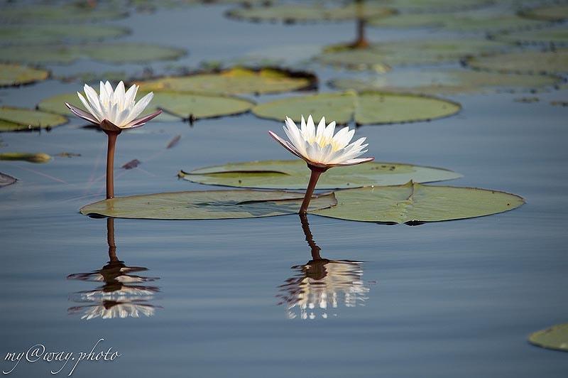 лотосы цветут