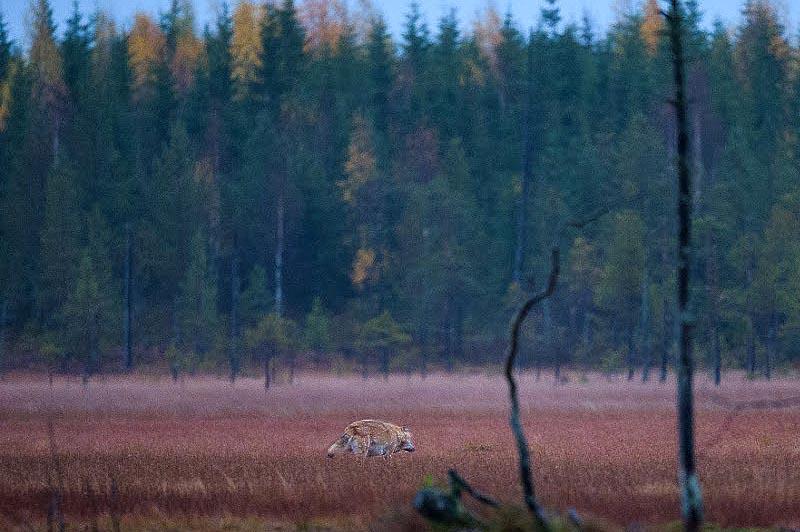 волк в пограничной зоне кухмо
