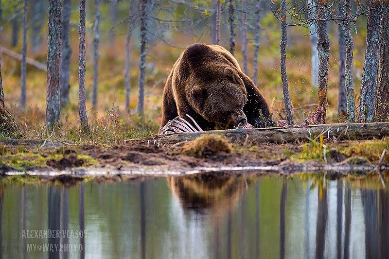 фотографирование  медведя