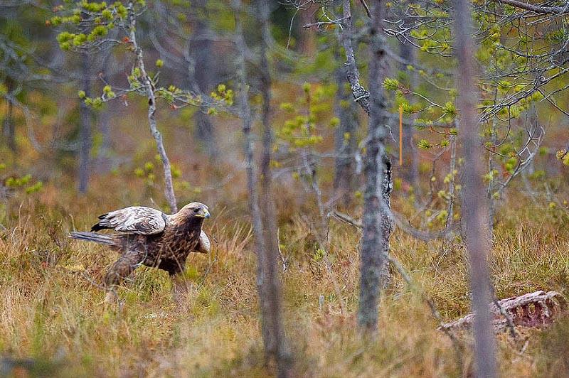 орлан хищная птица дикой тайги