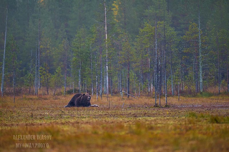 косолапый мишка в глухомани финской тайги
