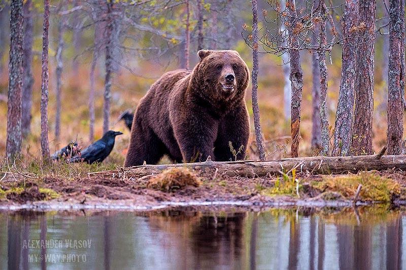 медведь силен и непредсказуем