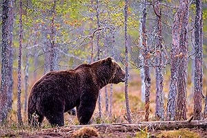 животное тайги бурый медведь