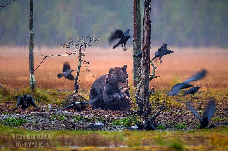 фото медведя из окрестностей кухмо