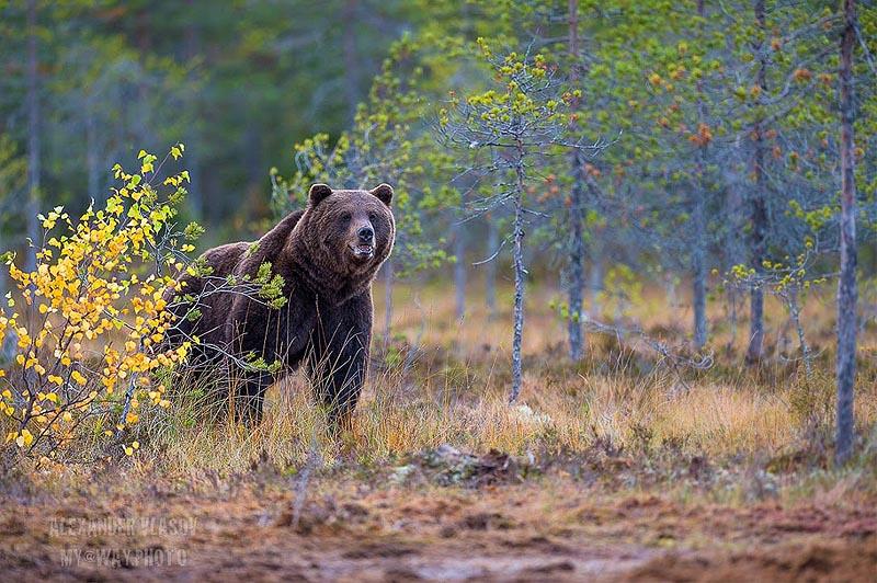 медведь в пейзажах страны суоми