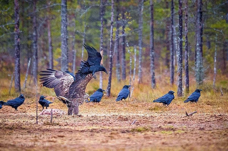 орлан белохвост и вороны