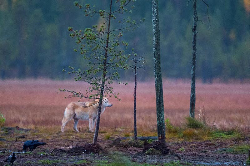 из леса показался финский волк