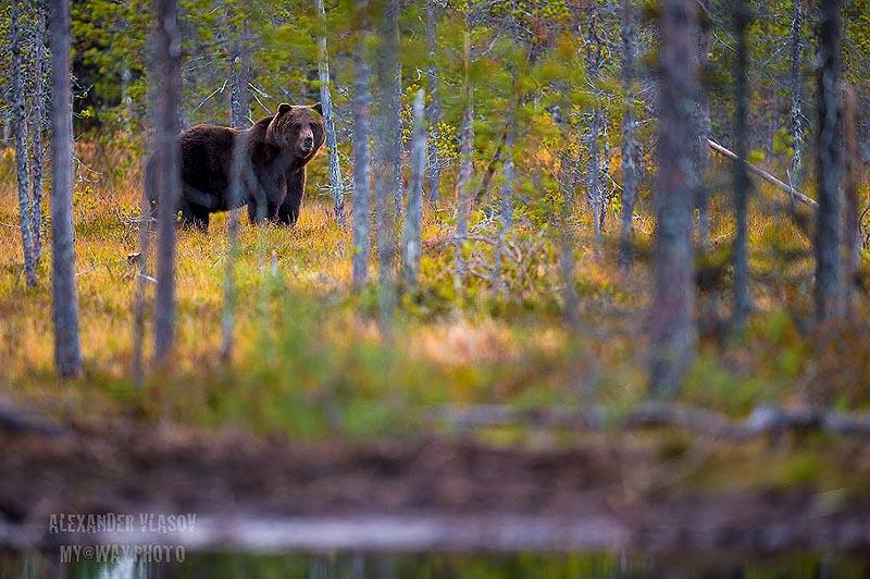 здоровенный медведь на фоне финской природы