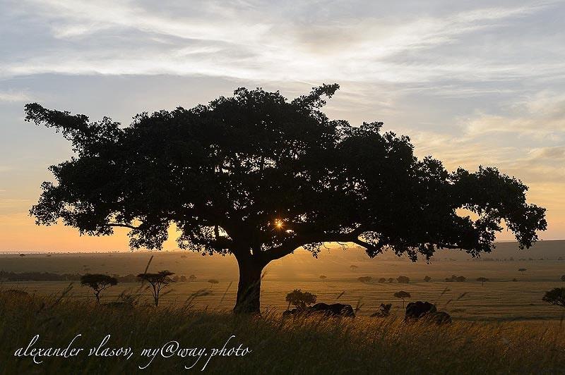 акация является национальным деревом кении