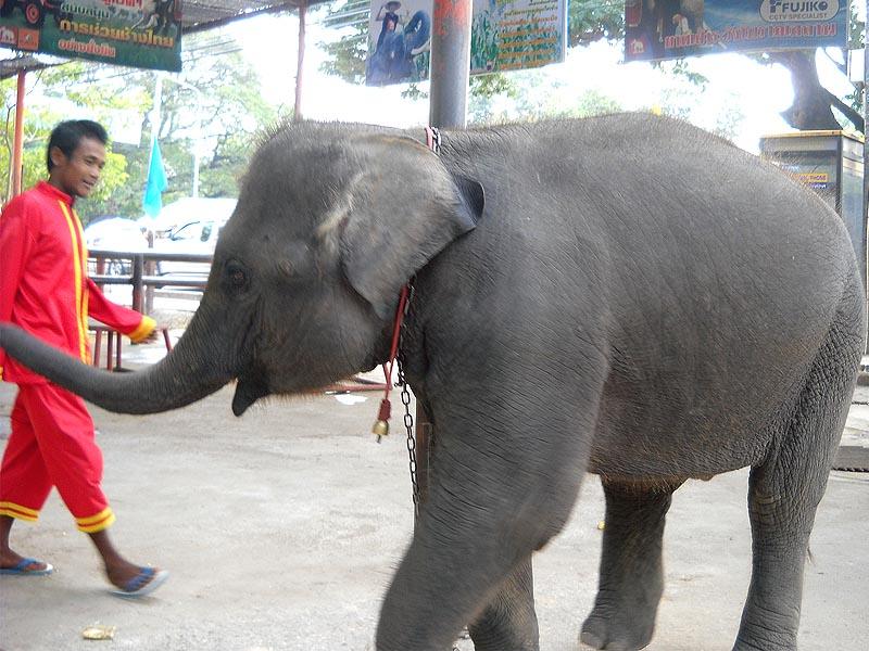 азиатский слон из таиланда