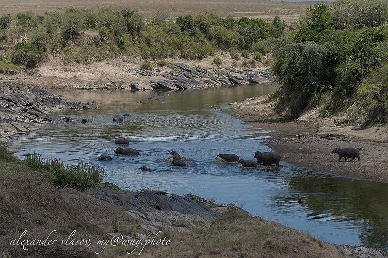 бегемоты в заповеднике масаи мара