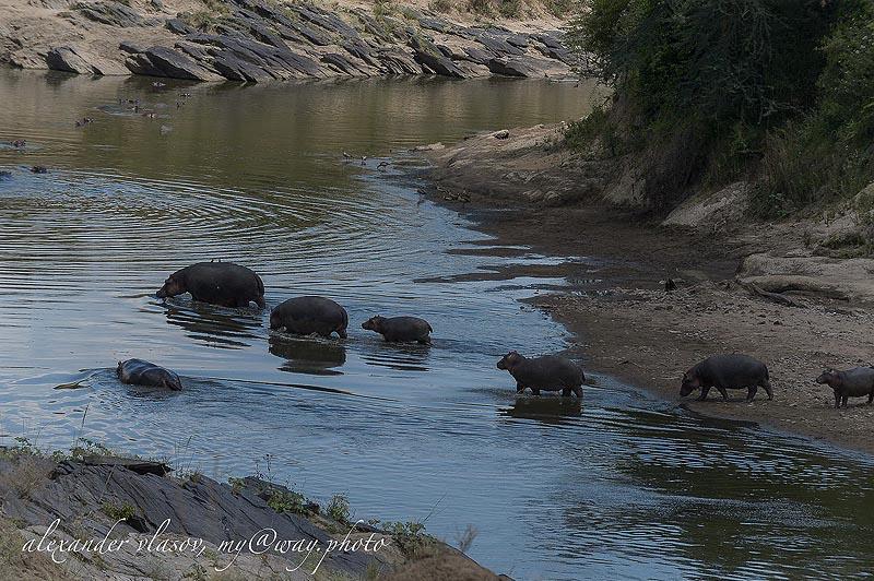 бегемоты в водах реки мара