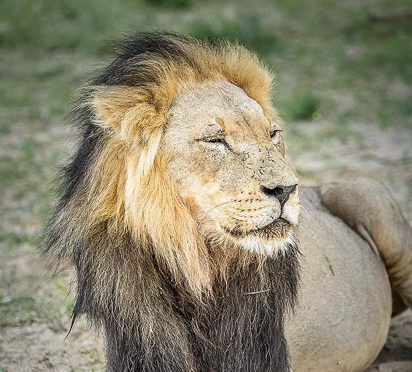черногривый лев из парка кгалагади