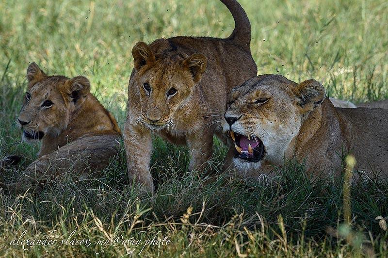 жизнь львенка в африканской саванне