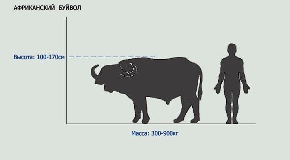 размеры буйвола  входящего в рейтинг большой пятерки