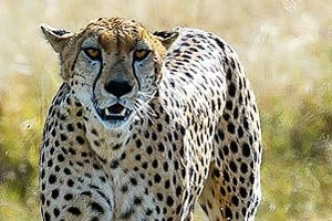 гепард в заповеднике масаи мара