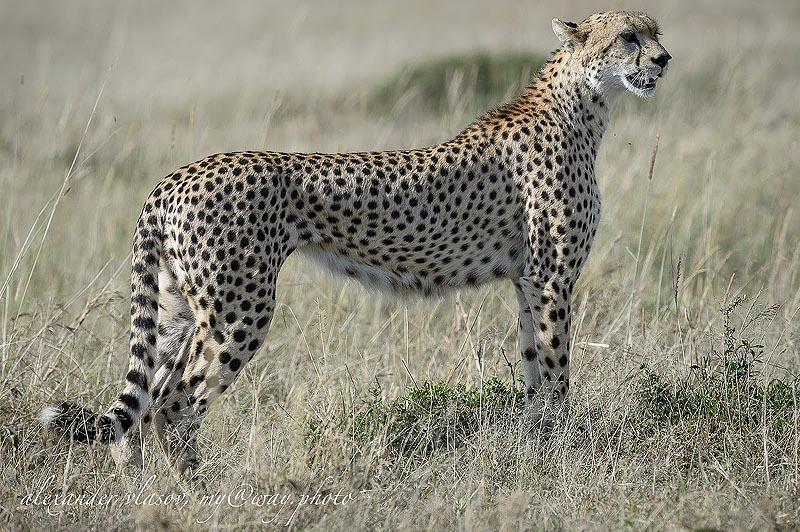 гепард одно из самых красивых существ на земле