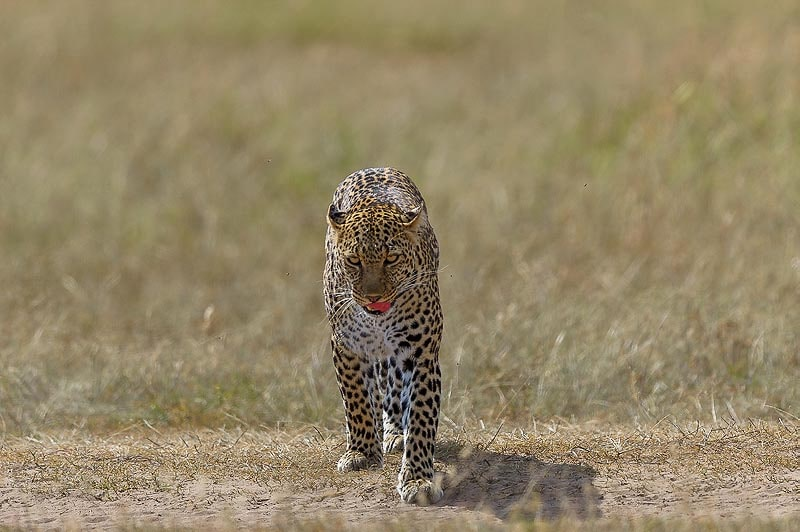 у леопарда сильное и гибкое тело и мощная хватка челюстей