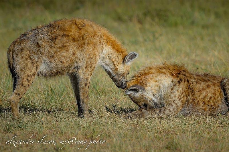 гиены из заповедника масаи мара