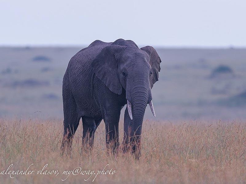 слон самое крупное наземное млекопитающее