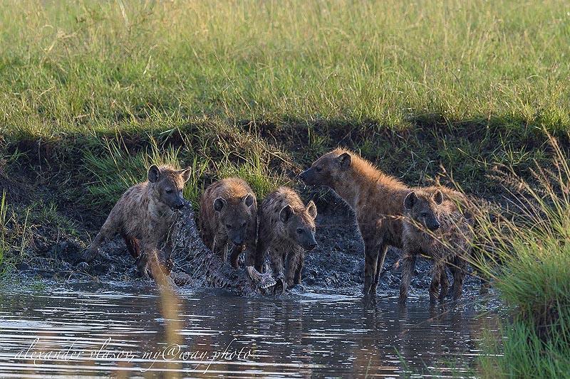 группа пятнистых гиен в заповеднике масаи мара