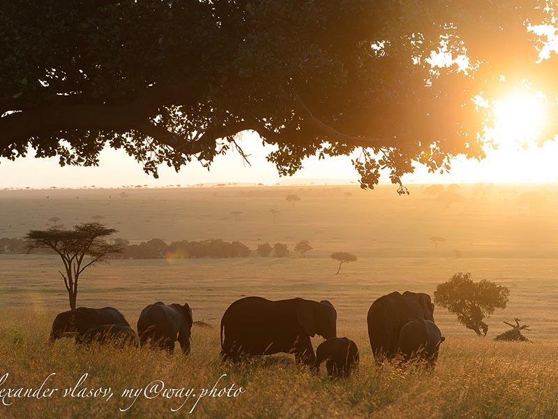 семейство слонов на закате
