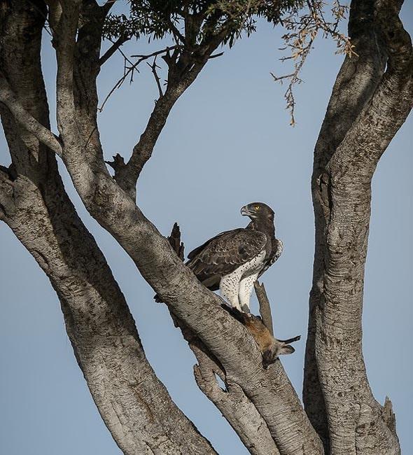 одна из хищных птиц масаи мара