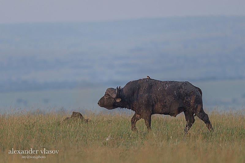 кафрский буйвол гордо смотрит вдаль масаи мара