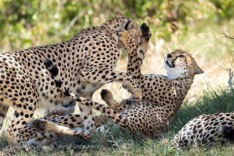 гепарды не могут втягивать свои короткие и тупые когти