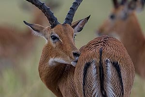 копытные заповедника масаи мара