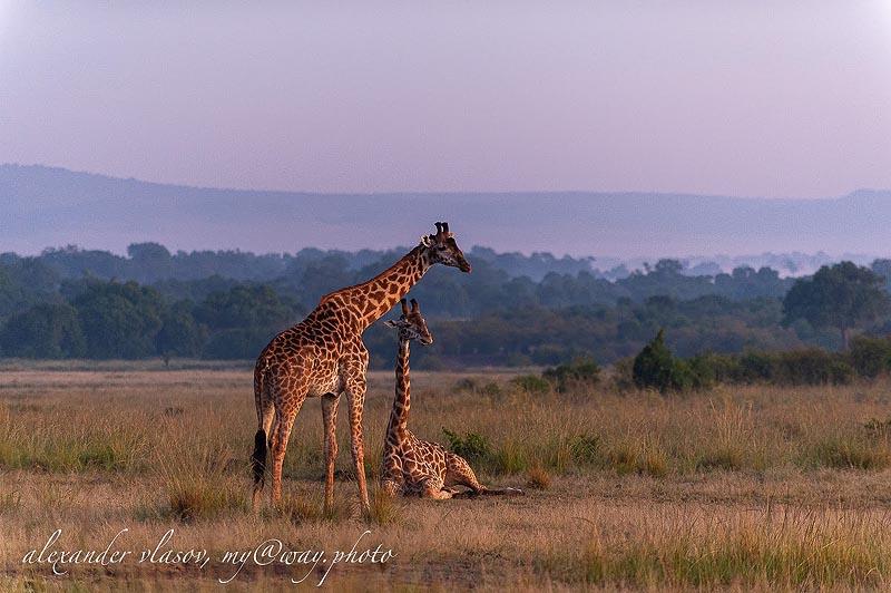 у масайских жирафов коричневые пятна вплоть до самых копыт