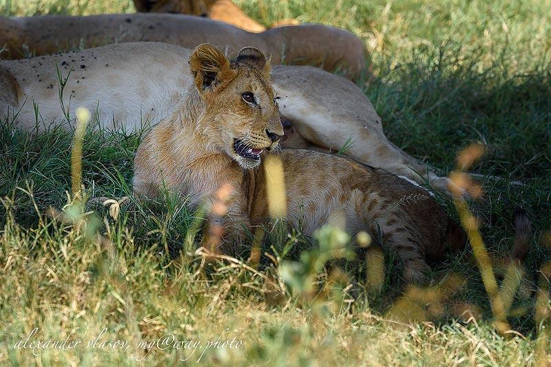 у львиного младенца коричневые пятна