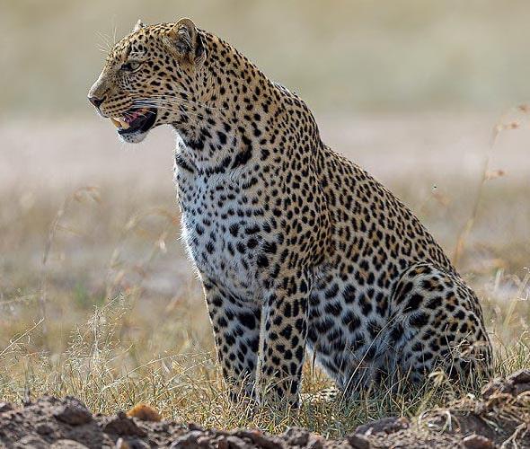 леопард восхитительный красавец саванн масаи мара
