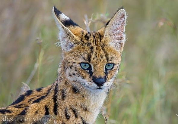красивая кошка сервал в естественной среде обитания масаи мара