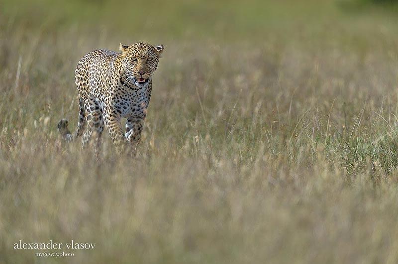 крупная кошка леопард уступает только льву